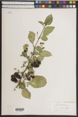 Image of Solanum guineense