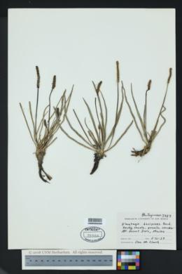 Image of Plantago decipiens
