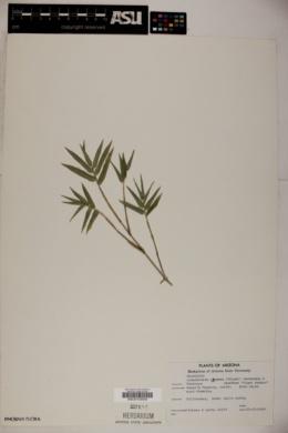 Image of Arundinaria pygmaea