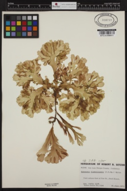 Hymenena flabelligera image