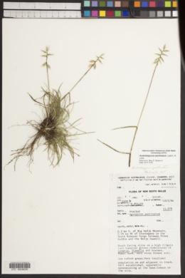 Image of Australopyrum pectinatum