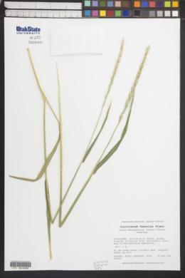 Image of Elymus kamczadalorum