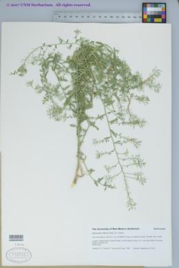 Image of Halimolobos diffusus