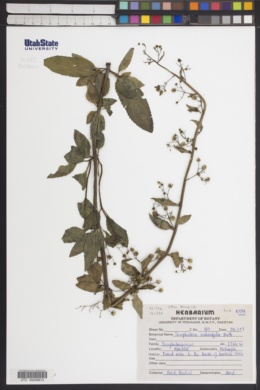 Image of Scrophularia scabiosifolia