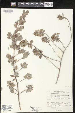 Image of Pemphis acidula