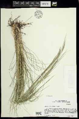 Jarava image