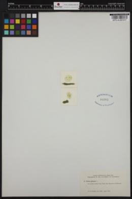 Volvox globator image