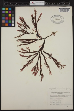 Cryptopleura violacea image