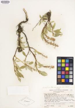 Image of Salix anglorum