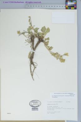 Image of Physaria pruinosa