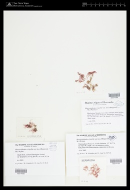 Heterosiphonia crispella image