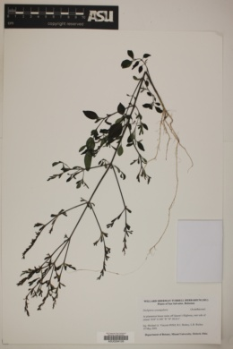 Image of Dicliptera sexangularis