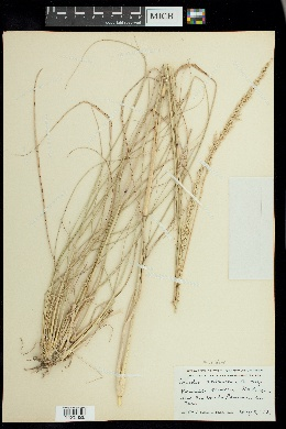 Tridens albescens image