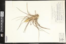 Image of Tillandsia concolor