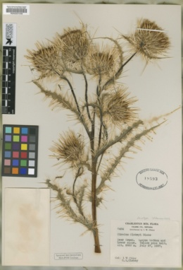 Cirsium clokeyi image