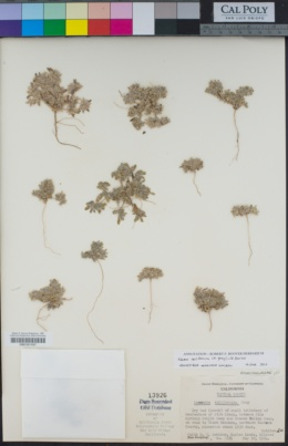 Nama californica image