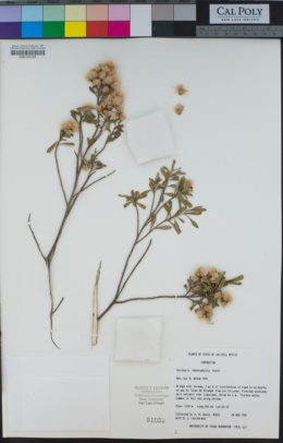 Baccharis heterophylla image