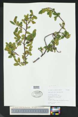 Rhamnus serrata image