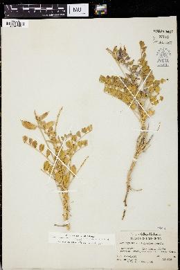 Image of Astragalus crotalariae