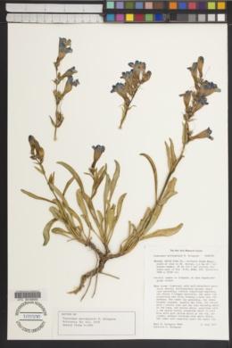 Penstemon moriahensis image