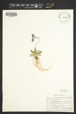 Primula specuicola image