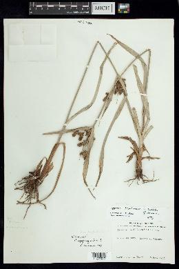Cyperus dentoniae image