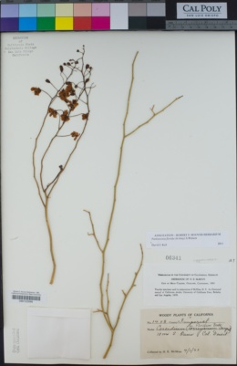 Parkinsonia florida image