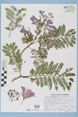 Image of Jacaranda obtusifolia