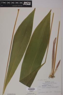 Image of Aspidistra elatior