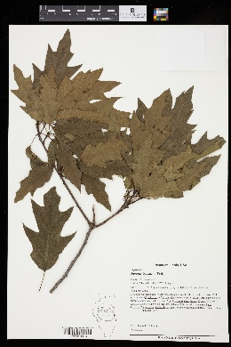 Quercus × exacta image