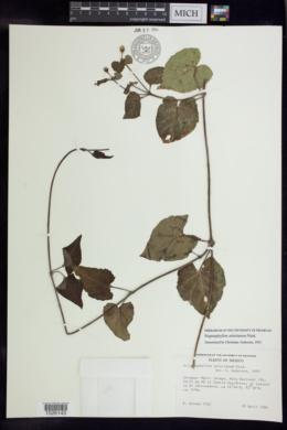 Stigmaphyllon selerianum image