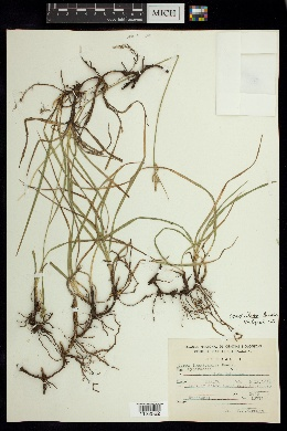 Carex ciliaris image