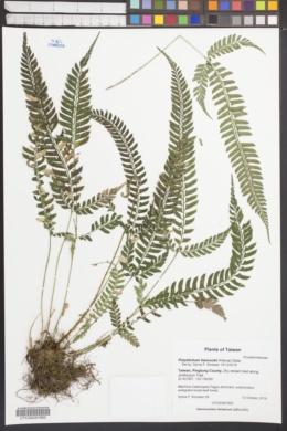 Image of Polystichum hancockii