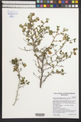 Image of Physocarpus alternans