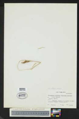 Peniocereus striatus image