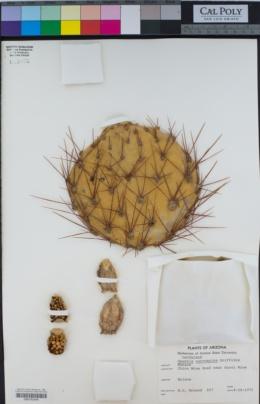 Opuntia curvispina image