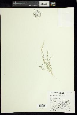 Image of Muhlenbergia brandegeei