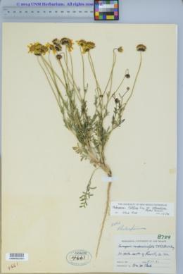 Thelesperma filifolium var. intermedium image