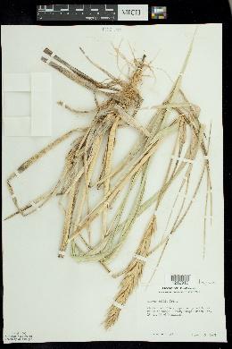 Leymus mollis image