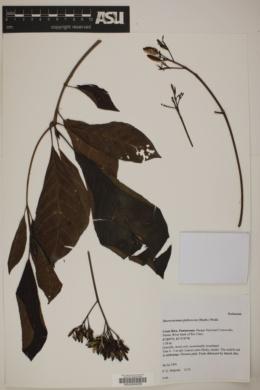 Macrocnemum roseum image