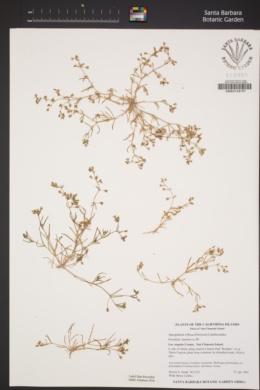 Spergularia villosa image