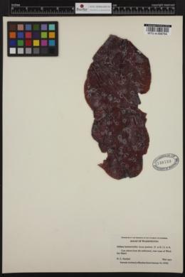 Turnerella mertensiana image