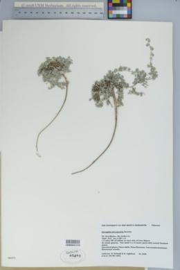 Image of Astragalus micromerius