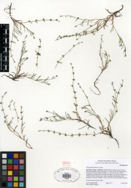 Harpagonella palmeri image