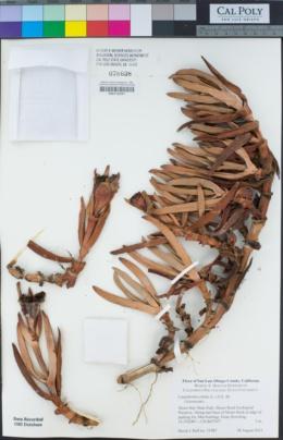 Carpobrotus edulis image