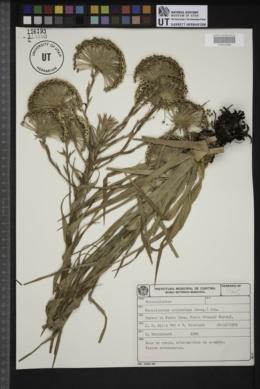 Actinocephalus polyanthus image