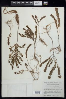 Phyllanthus caroliniensis subsp. saxicola image