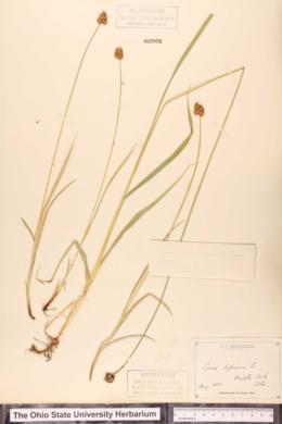 Carex leporina image