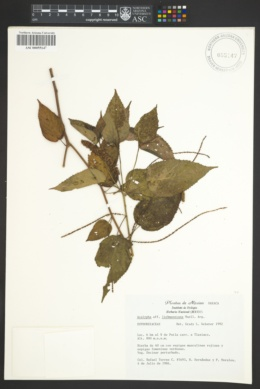 Image of Acalypha liebmanniana
