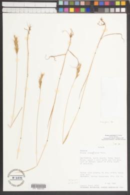 Image of Bromus caroli-henrici